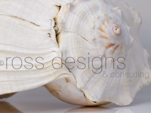 White Lightning Whelk Shell