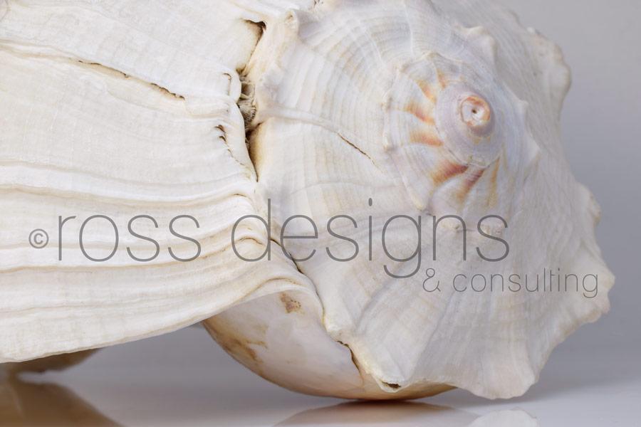 White Lightning Whelk Shell